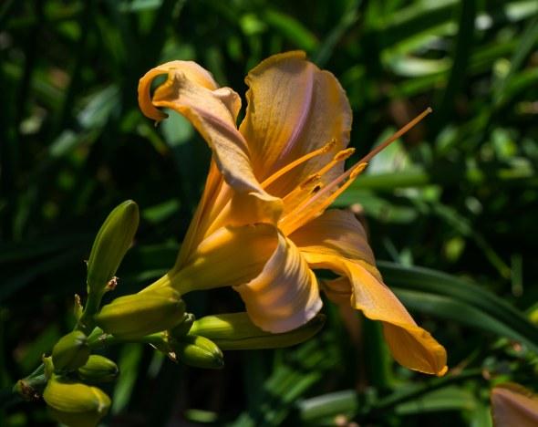 lillies-10