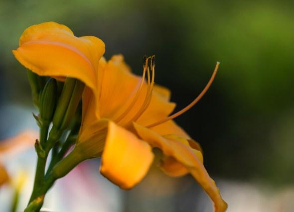 lillies-12