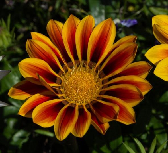 lillies-16