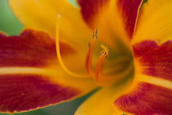 lillies-22