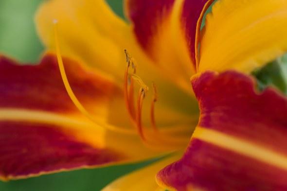 lillies-23